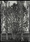 Click image for larger version.  Name:treepoplar.jpg Views:125 Size:130.0 KB ID:73988