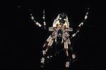 Click image for larger version.  Name:Spider underside.jpg Views:44 Size:84.5 KB ID:213474