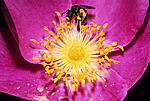 Click image for larger version.  Name:Wild rose bee crop.jpg Views:30 Size:165.4 KB ID:213490