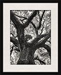 Click image for larger version.  Name:Southern Live Oak in Frame Mock-up.jpg Views:101 Size:97.4 KB ID:188396