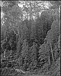 Click image for larger version.  Name:Podocarpus, Errinundra306 copy LFPF.jpg Views:74 Size:200.3 KB ID:201204