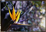 Click image for larger version.  Name:Bird of paradise, Kodak 64T-A.jpg Views:41 Size:53.5 KB ID:213500