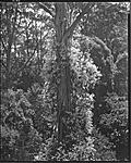 Click image for larger version.  Name:Clematis and Manna Gum309 copy 2 LFPF.jpg Views:67 Size:176.3 KB ID:201207