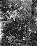 Click image for larger version.  Name:Vine Leaves and Fruit305 copy LFPF.jpg Views:67 Size:128.6 KB ID:201213
