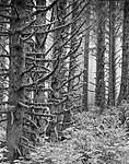 Click image for larger version.  Name:coast_trees_1_final.jpg Views:61 Size:135.4 KB ID:209666