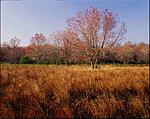 Click image for larger version.  Name:Spring Maple In Fallow Field - Sourlands 2400 dpi 1ms_00001RPF4521DS.jpg Views:92 Size:98.8 KB ID:211701