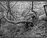 Click image for larger version.  Name:Big leaf maple.jpg Views:18 Size:220.3 KB ID:193046
