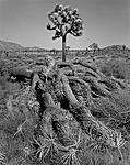 Click image for larger version.  Name:Fallen Joshua Tree.jpg Views:92 Size:210.0 KB ID:213778