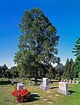 Click image for larger version.  Name:Tulip tree.jpg Views:36 Size:176.1 KB ID:215676