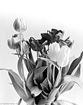 Click image for larger version.  Name:Tulip-1-of-1.jpg Views:47 Size:103.9 KB ID:203042