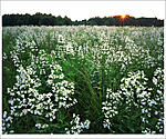 Click image for larger version.  Name:M20 - False Foxglove Sunset - Mercer County Park West downsample_00001RPF4521DS.jpg Views:25 Size:176.7 KB ID:214602