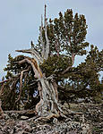 Click image for larger version.  Name:Poverty-Whitebark.jpg Views:8 Size:128.8 KB ID:209954