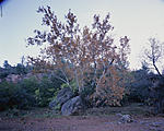Click image for larger version.  Name:SycamoresOnGirdnerTrail-LF-11.jpg Views:27 Size:109.1 KB ID:77314