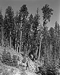 Click image for larger version.  Name:Leaning Pines.jpg Views:112 Size:223.4 KB ID:216791