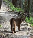Click image for larger version.  Name:Cougar_Montara trail.jpg Views:41 Size:84.8 KB ID:201387