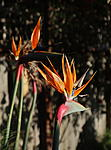 Click image for larger version.  Name:Birds of Paradise.jpg Views:39 Size:49.4 KB ID:204095