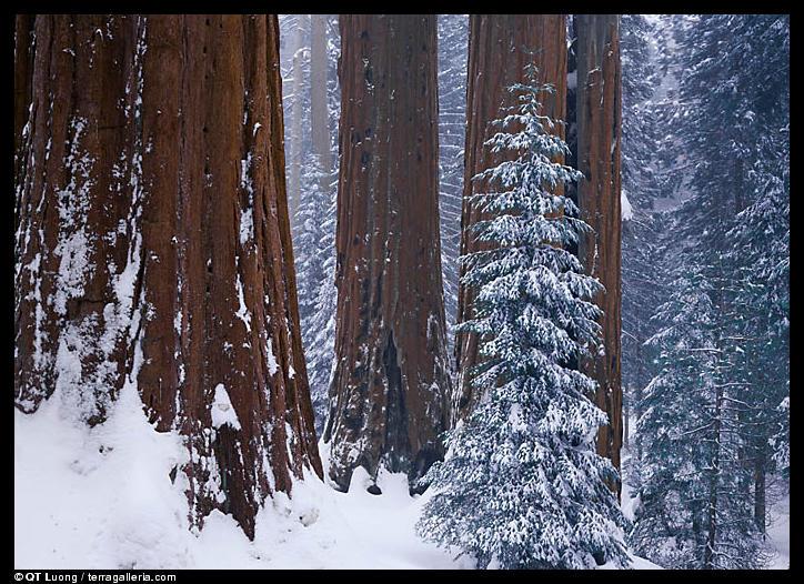 Large format landscapes : sequoias